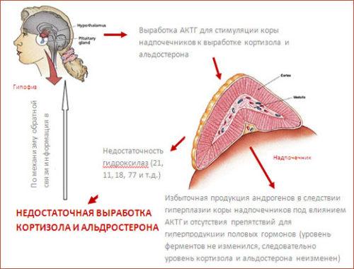 Выработка гормонов надпочечников